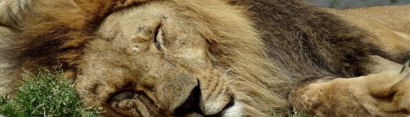 Favola Il leone pigro e i suoi furbi fratelli